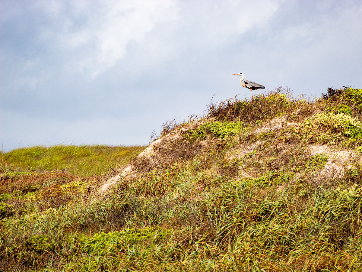 Sand dunes with green and yellow plants crawling over it is in front of a lightly cloudy sky. A white and gray heron perches on top of the sand dune on the right.